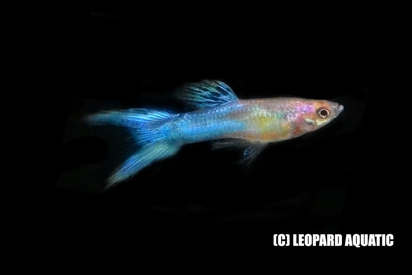Livebearer Killfish Leopard Aquatic